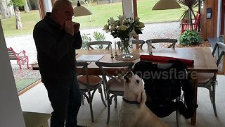 Adorable labradoodle 'sings' along while owner plays harmonica - Video