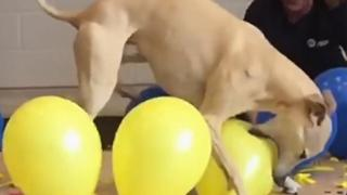 Dog Sets Record For Popping 100 Balloons - Video