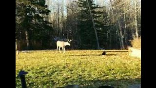 Fearless Cat Confronts Two Mule Deer in Back Yard