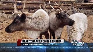 Reindeer have landed at Bearizona - Video