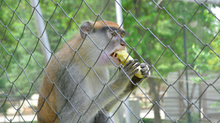 Monkey takes a banana in the ZOO  - Video