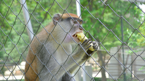 Monkey takes a banana in the ZOO