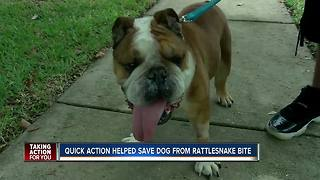 Family dog recovering after being bitten by rattlesnake in fenced backyard - Video
