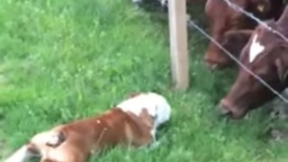 Adorable Swedish Bulldog Is Great At Making Friends With Cows - Video