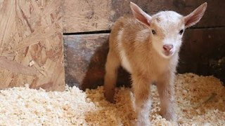 Newborn Goat Makes Friends With Farm Kittens - Video