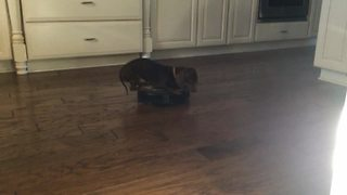 Dachshund Rides Roomba - Video