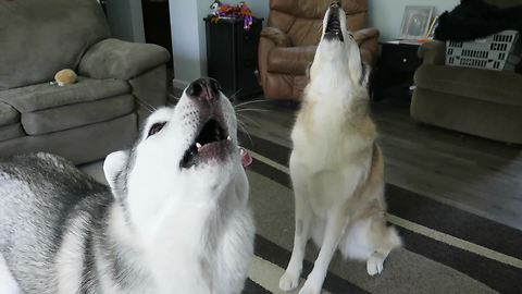 Howling Husky Duo Singing Out Loud To Impress Owner