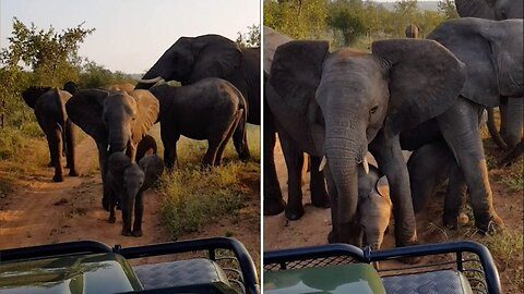 Curious Baby Elephants Are Stopped By From Taking A Closer Look At Tourists Protective Mother