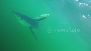 Curious sharks circles boat in search for food in the North Atlantic Canyons - Video