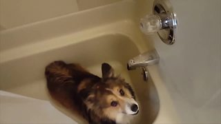 """Adorable Corgi Dog Loves Showers"""