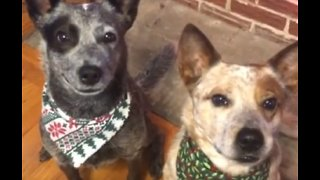 Dog Hilariously Gives Sibling A Hug On Command - Video