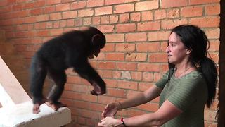 Couple build refuge for orphaned baby chimps in Liberia - Video