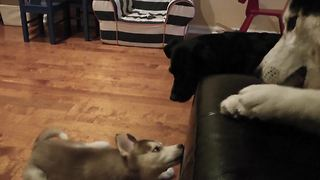 Mishka the Talking Husky refuses to share bone with puppy - Video