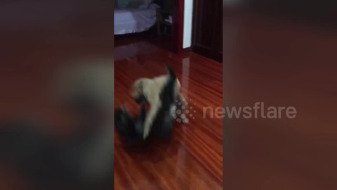 Poodle shows off moves by body slamming cat during fight