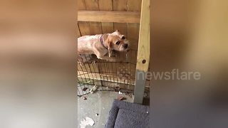 Guilty dog caught in the act of trying to escape