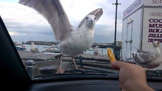 Hungry seagulls don't quite understand the concept of glass - Video