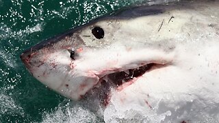 Shark-tracking app shows multiple great white sharks off Florida's coast