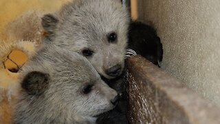These Orphaned Grizzly Cubs Will Melt Your Heart