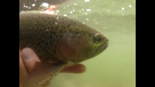 Underwater Rainbow Trout swimming away