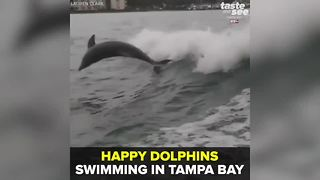 Happy dolphins swimming in Tampa Bay | Taste and See Tampa Bay - Video
