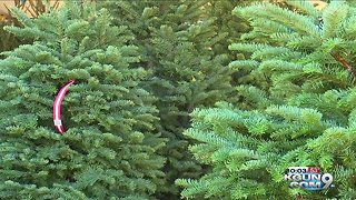 How to prevent Christmas tree infestation