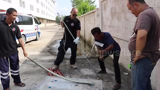 Python rescued after getting trapped in drain pipe - Video