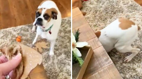 Grinch boxer chews Christmas ornament, can't hide her guilt