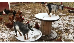 Farm Animals Enjoy Halloween Snow in Michigan - Video