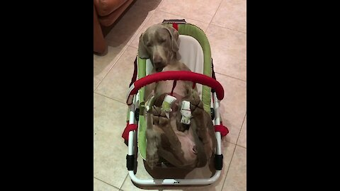 Dog falls asleep in baby balance chair