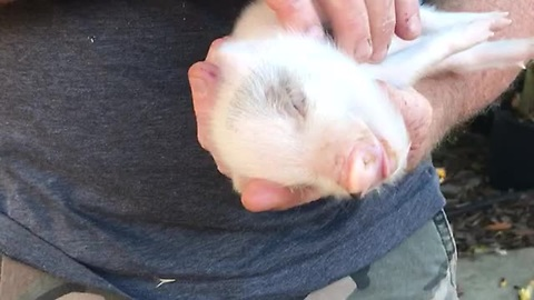 Mini Piglet Enters A State Of Nirvana After Constantly Receiving Belly Rubs