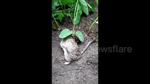 Live rat found with soya bean plant growing from body