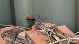 Wild Australia: Spider wasp takes on huntsman spider