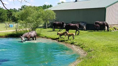 Great Danes Watch Horses Splash In A Pond, Want In On The Fun
