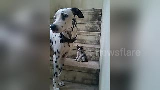 Too cute! Dalmatian plays with tiny kitten - Video