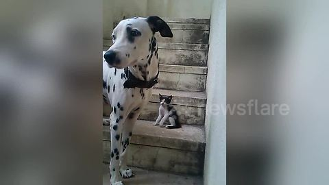 Too cute! Dalmatian plays with tiny kitten