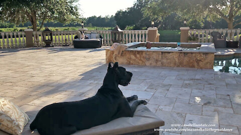 Happy Black And Harlequin Great Danes Enjoy Relaxing Poolside