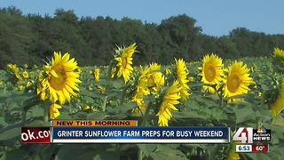 Sunflowers bloom at Grinter Farm, draw big crowds - Video