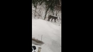 Possibly Lynx captured on camera in Michigan