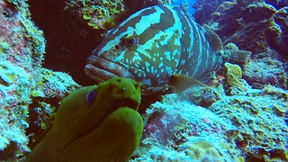 Extremely rare and intelligent animal communication: Eel and grouper hunt together