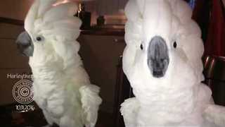 Cockatoo Makes Musical Sounds With Plastic Cup - Video