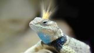 Lizard Mating Behavior - Video