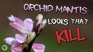 Orchid Mantis: Looks That Kill