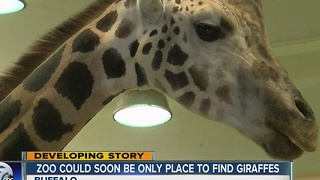 The zoo could soon be the only place you will find giraffes - Video