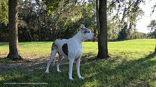 Beautiful Great Danes Enjoy a Fall Day in Florida - Video