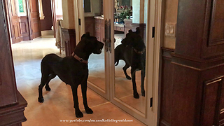 Funny Great Dane Looks in the Mirror for the First Time