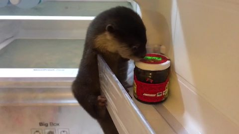 Baby otter thoroughly explores owner's refrigerator