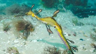 This Egg-cellent Footage Captures A Male Sea Dragon Carrying It's Young For The Female