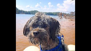 Chewbacca shows off his swimming skills! Fetching stick!