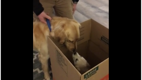 Big Brother Dog Is Super Excited To Meet His Puppy Sister