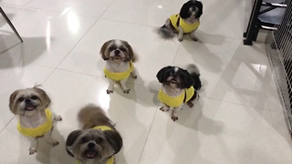 Woman plays hide and seek with 5 Shih Tzu dogs